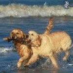 goldens at beach